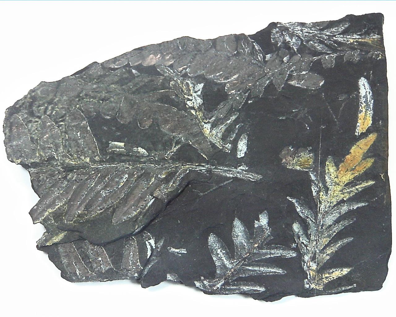 Coal Specimen From Pennsylvania MS,792 1