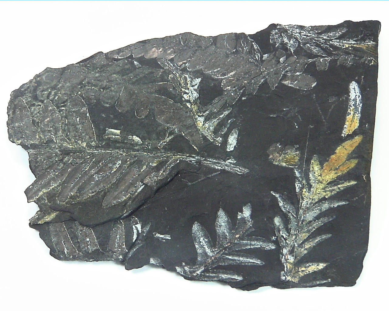 Coal Specimen From Pennsylvania MS,792 8